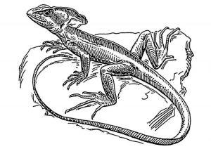 como dibujar un lagarto