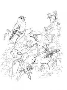 dibujos de canarios para colorear