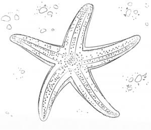 estrella de mar dibujo