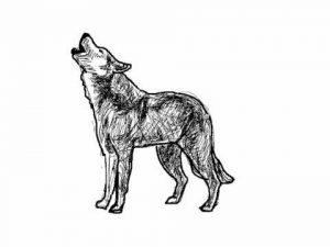 lobo aullando dibujo