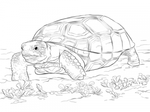 tortuga pintada