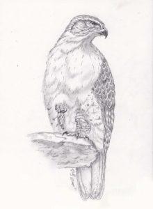 como dibujar un halcón facil