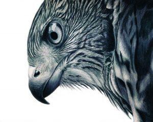 como dibujar un halcon peregrino