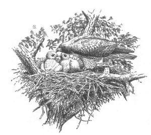 dibujar un halcón