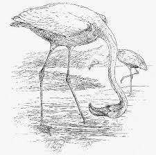 dibujo flamingo