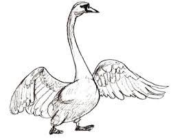 dibujos de cisnes a color 1