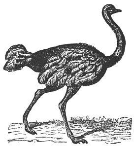 fotos de avestruz