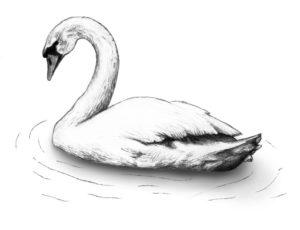 fotos de cisnes