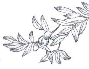 arbol olivo caracteristicas