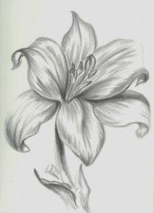 dibujos de lirios a lapiz