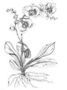 dibujos de orquideas para colorear