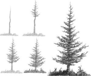 imagenes de arboles de pino