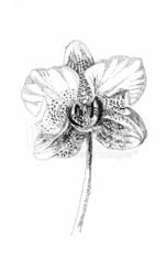 imagenes de orquideas azules