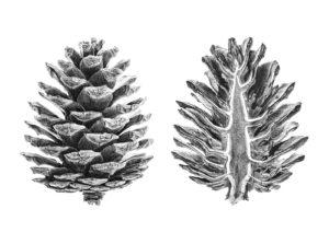 imagenes de pinos para dibujar