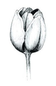 pinturas de tulipanes