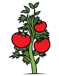 planta de tomate dibujo