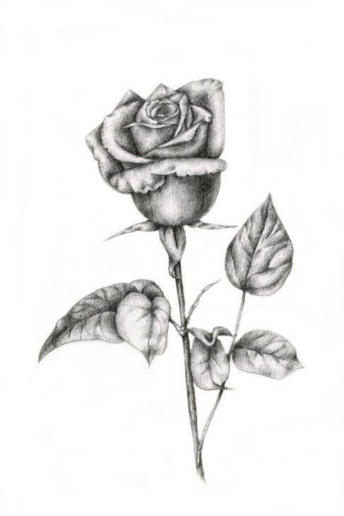 Lllᐅ Dibujos De Rosastutorialbellas Rosas Para El 14